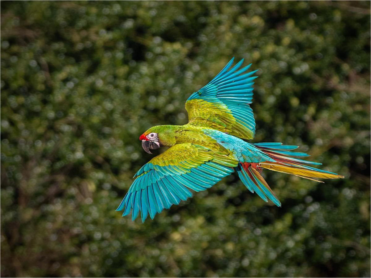 Flight of a Green MacrawLawrence Homewood