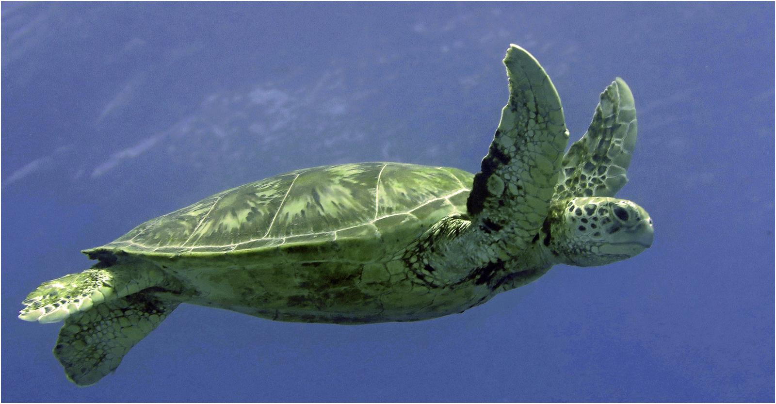 Green Sea Turtle Indian OceanAndy Ruxton