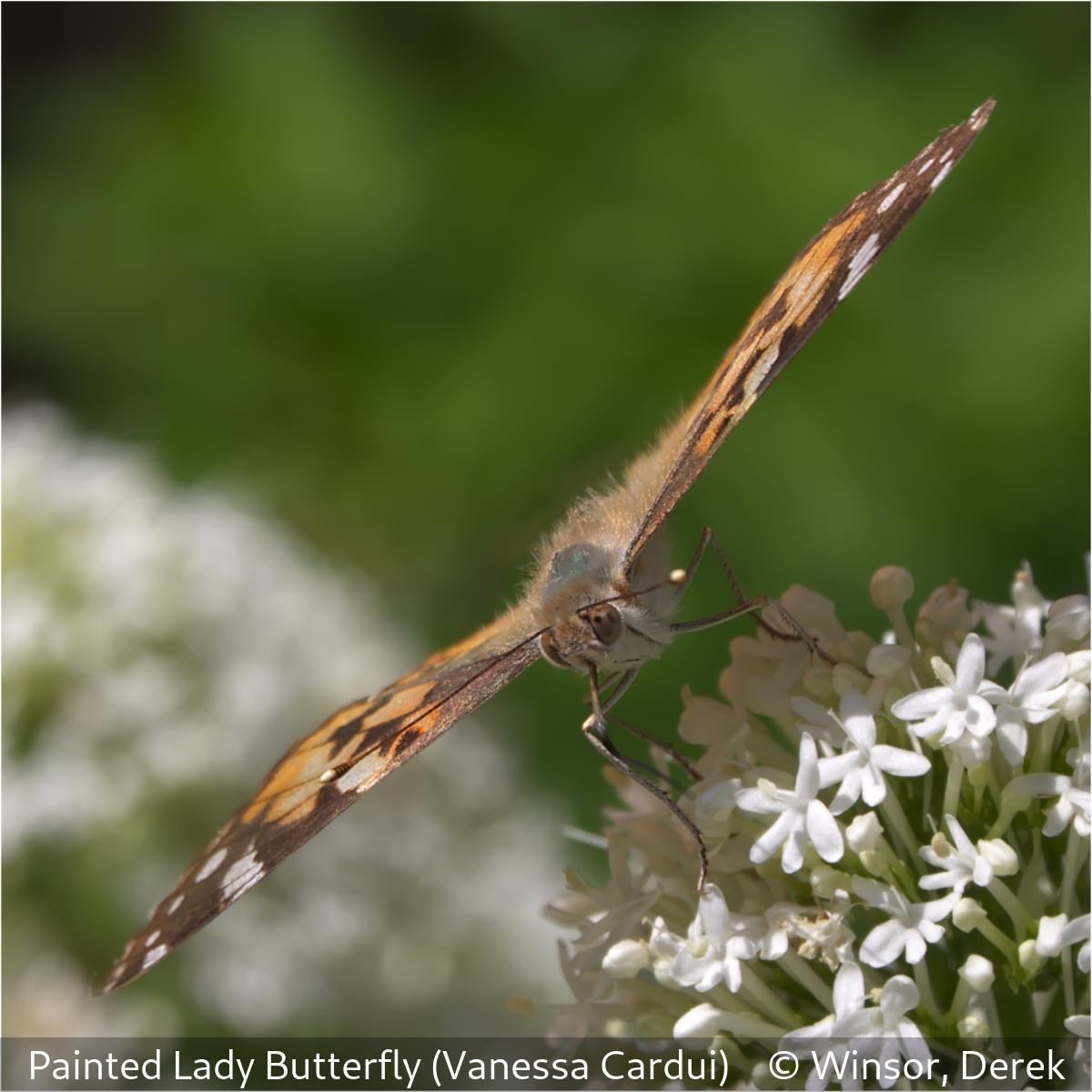 Derek WinsorPainted Lady Butterfly (Vanessa cardui)