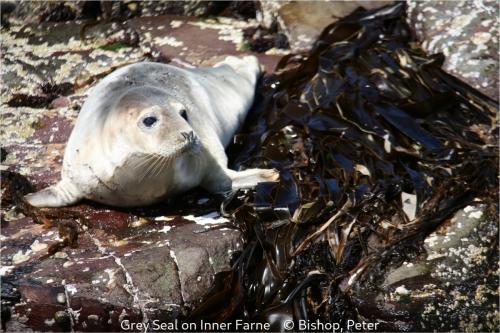 Peter BishopGrey Seal on Inner Farne