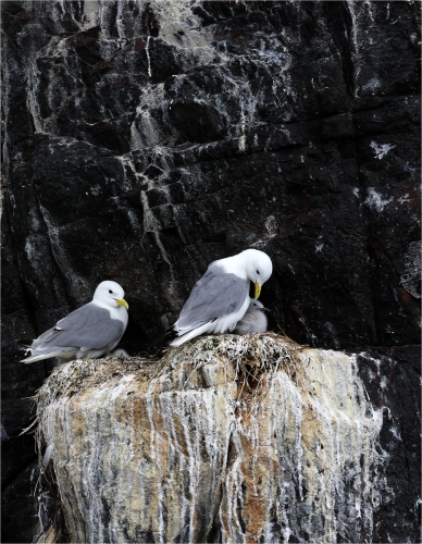 Peter BishopKittiwakes and chick