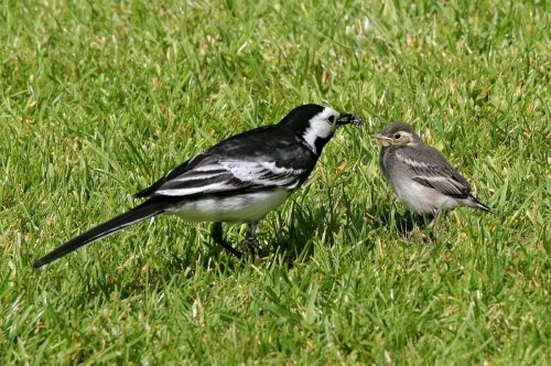FlowerJoycePied Wagtail and chick