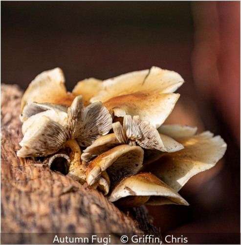 Chris GriffinAutumn Fungi