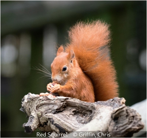 Chris GriffinRed Squirrel