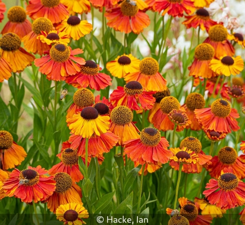 Ian HackeHelinium in bloom