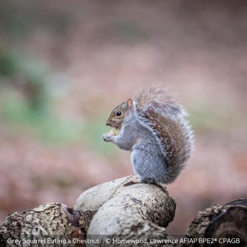 Lawrence HomewoodGrey Squirrel Eating a Chestnut