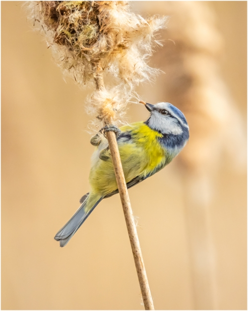 Paul LittlechildBlue Tit