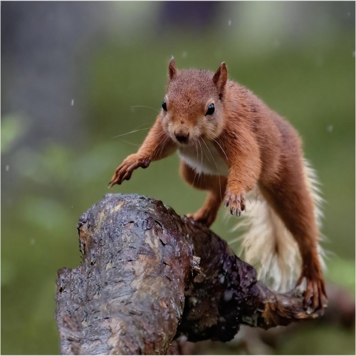 Andy MarshallRed Squirrel