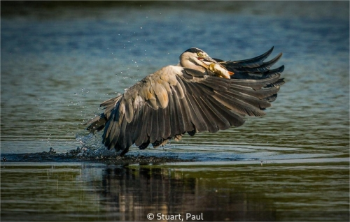 Paul StuartGrey Heron Ardea