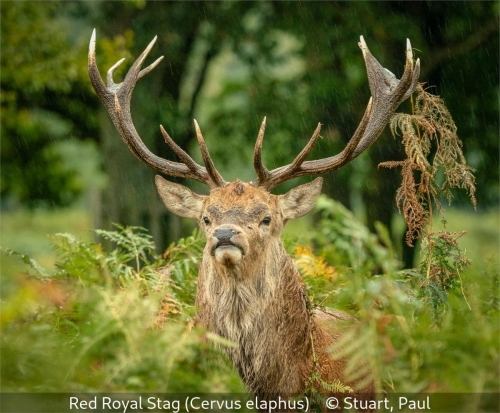Paul StuartRed Royal Stag (Cervuselaphus)