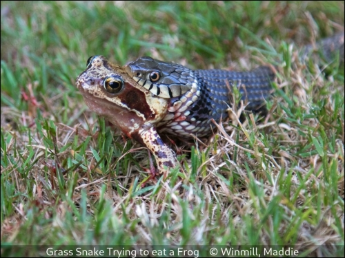 Maddie WinmillGrass Snake Trying to eat a Frog