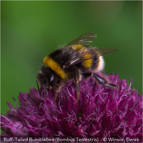 Derek WinsorBuff Tailed Bumblebee (Bombus terrestris)