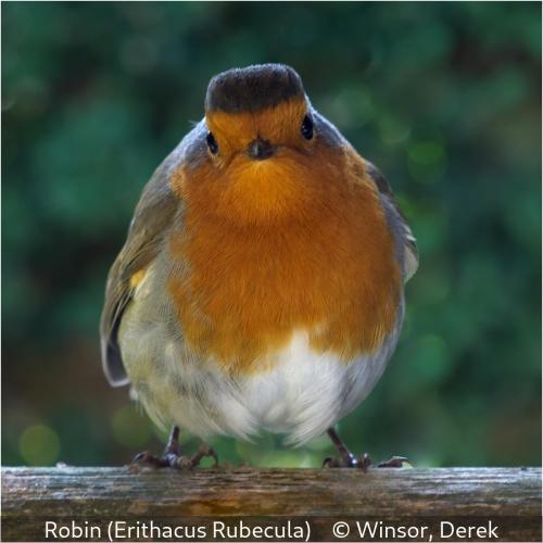 Derek WinsorRobin (Erithacus rubecula)