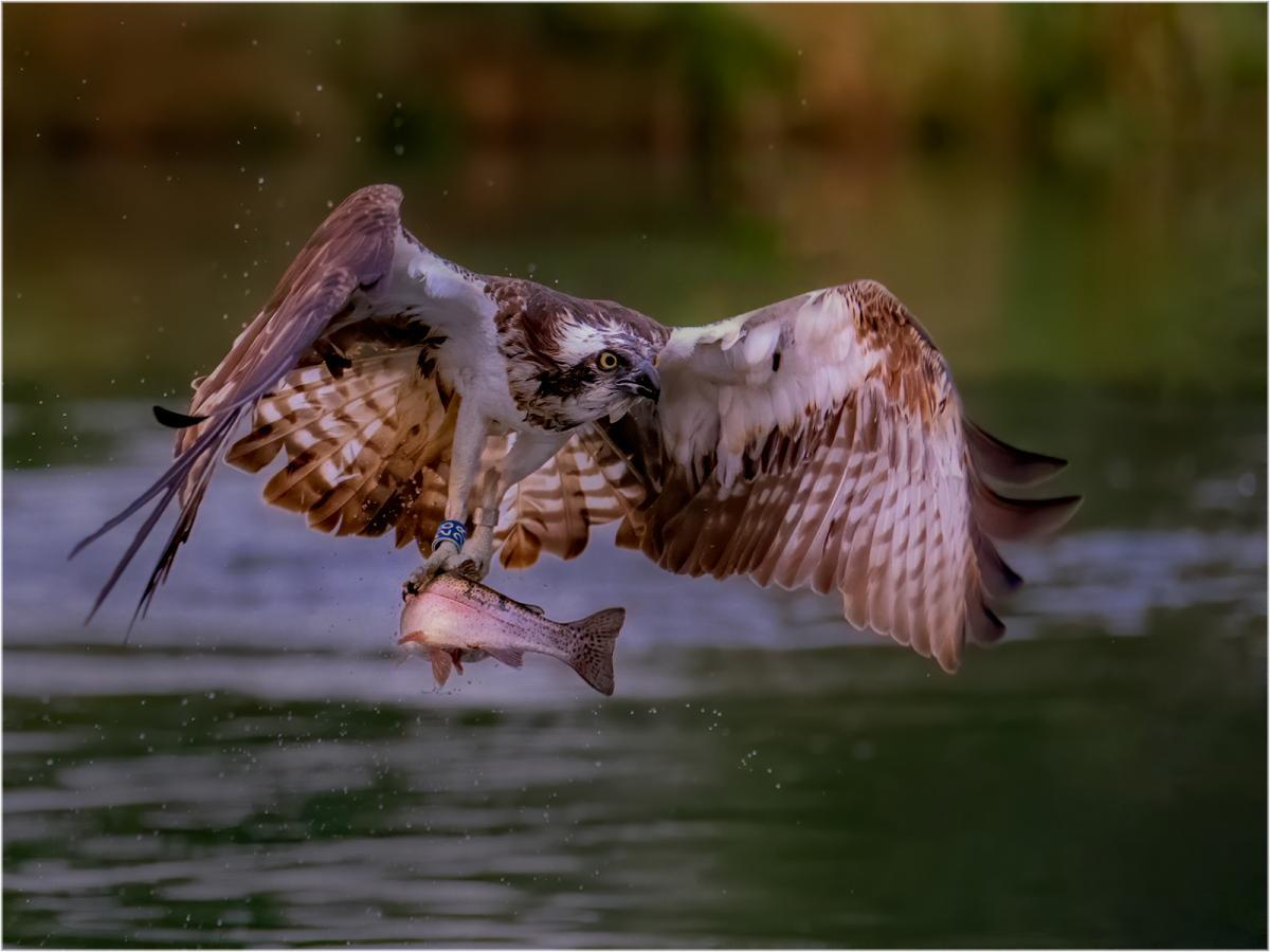 Osprey, with Rainbow TroutAndy Marshall