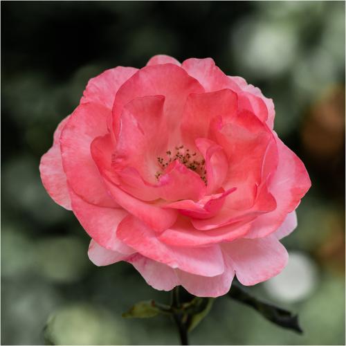 Beevor-Anthony_Garden-Rose_1-1