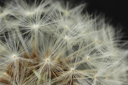 Corbin-Helen_Dandelion-seedhead_1-1