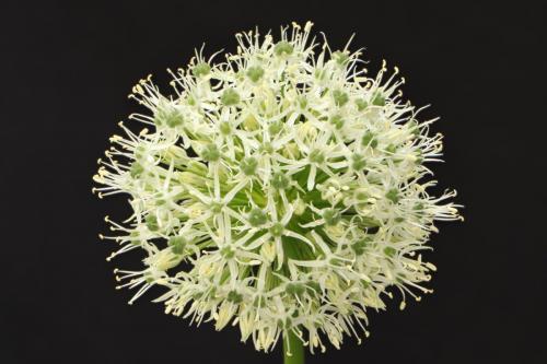 Corbin-Helen_White-Allium_1-1