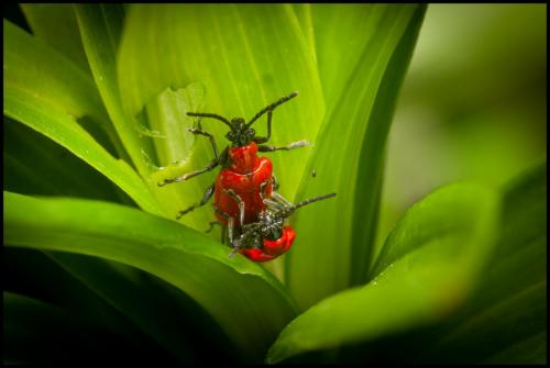 Creasey-Peter_Lily-beetle-Lilioceris-lilii_1-1