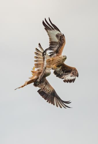 Littlechild, Paul_Red Kites sparring_1
