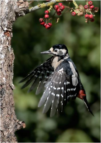 Marshall, Andy_Juvenile male, Great Spotted Woodpecker, landing._1