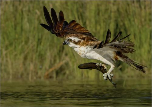 Marshall, Andy_Osprey with Brown Trout_1