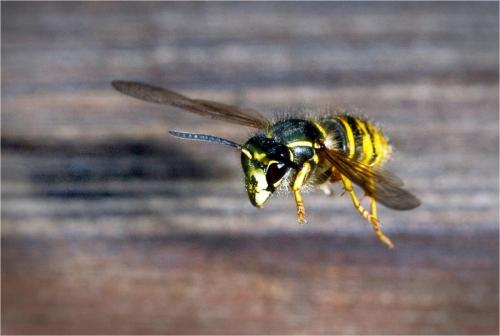 Ruxton, Andy_Wasp in flight_1