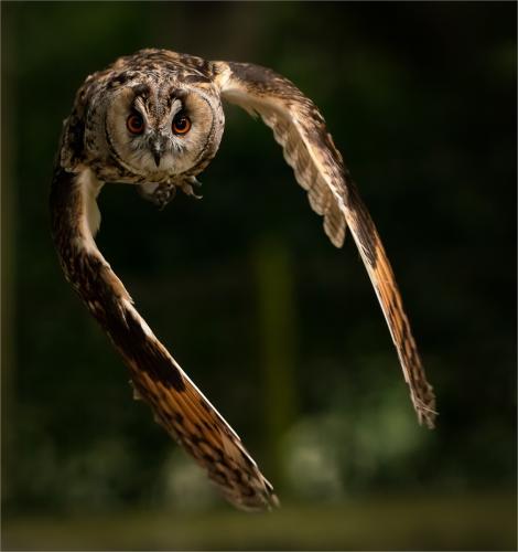 Stuart, Paul_Long Eared Owl_1